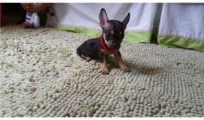 Chihuahua pequeña nena black and tan, Venta/Sale, Perros/Dogs Puerto Rico