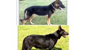 GERMAN SHEPHERD AKC,